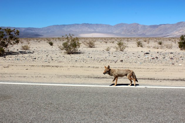 coyote in death valley national park, california