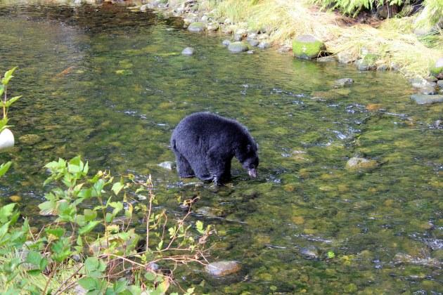 black bear at thornton creek hatchery ucluelet british columbia canada