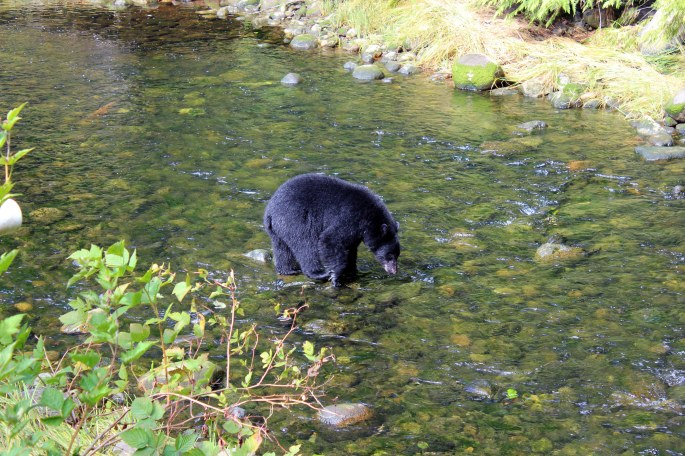 black bear at thornton creek hatchery ucluelet british columbia canada