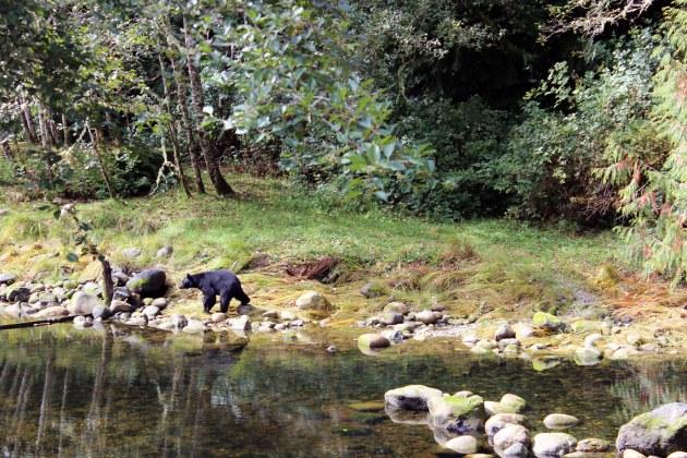ucluelet british columbia black bear