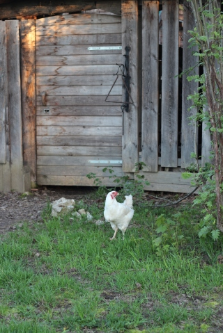 chicken on a farm in clearwater bc