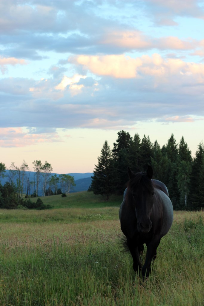 black horse in meadow sunset