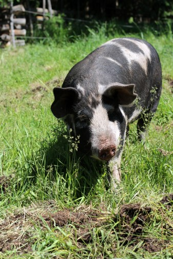 black and white spotted pig